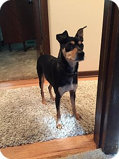 Miniature Pinscher/Terrier (Unknown Type, Small) Mix Dog for adoption in Columbus, Ohio - Benji