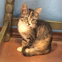 Domestic Mediumhair Kitten for adoption in Weatherford, Oklahoma - Quinn