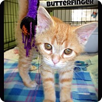 Adopt A Pet :: Butterfinger - Hartford City, IN