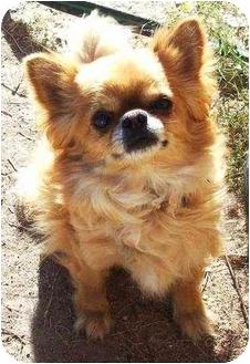 Chihuahua Mix Dog for adoption in Gilbert, Arizona - Pudgie