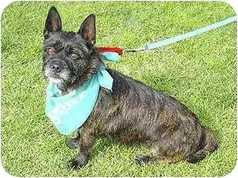 Cairn Terrier Mix Dog for adoption in San Diego, California - Bonnie