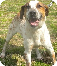 Pointer Mix Dog for adoption in Midlothian, Virginia - Colonel