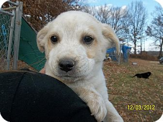 Labrador Retriever/Australian Cattle Dog Mix Puppy for adoption in Williston, Vermont - Archer