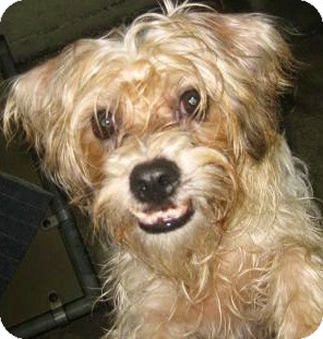 Shih Tzu/Yorkie, Yorkshire Terrier Mix Dog for adoption in Oswego, Illinois - I'M ADOPTED Cobey Sitenga
