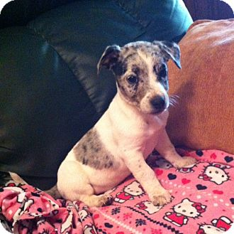 Catahoula Leopard Dog Mix Puppy for adoption in Walker, Louisiana - Connor