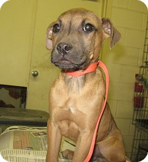 Pit Bull Terrier/Labrador Retriever Mix Puppy for adoption in Stillwater, Oklahoma - Cowboy