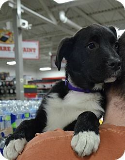 Border Collie Mix Puppy for adoption in New Oxford, Pennsylvania - Ariel
