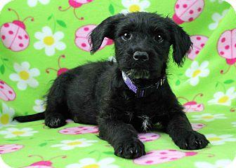 Schnauzer (Standard)/Cairn Terrier Mix Puppy for adoption in Westminster, Colorado - Bierbrodt
