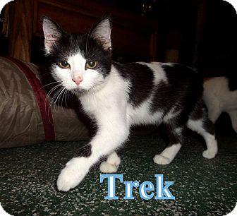 Domestic Shorthair Cat for adoption in O'Fallon, Missouri - Trek