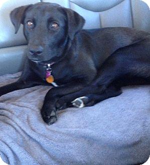 Labrador Retriever Mix Dog for adoption in Houston, Texas - Gracie