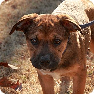 Mountain Cur/Rottweiler Mix Puppy for adoption in Windham, New Hampshire - Honey