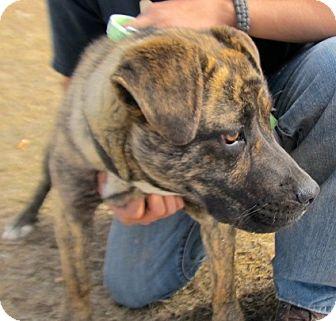 Labrador Retriever Mix Dog for adoption in Alamosa, Colorado - Pebbles