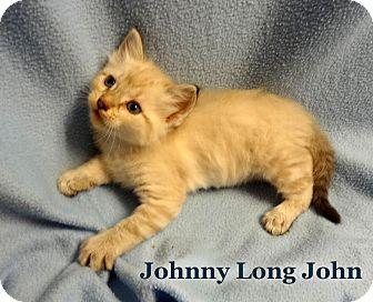 Himalayan Kitten for adoption in Bentonville, Arkansas - Johnny Longjohn