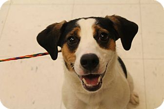 Beagle/Jack Russell Terrier Mix Dog for adoption in Pittsburg, Kansas - Buster