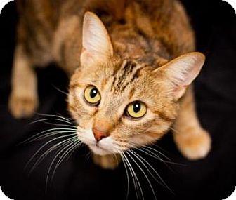 Bengal Cat for adoption in Denver, Colorado - Sienna