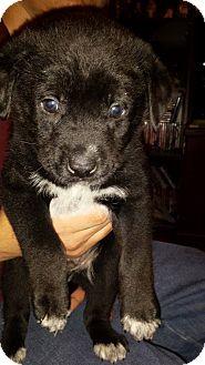 Australian Shepherd/Labrador Retriever Mix Puppy for adoption in Sumter, South Carolina - Lincoln