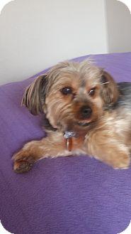 Yorkie, Yorkshire Terrier/Shih Tzu Mix Dog for adoption in Lodi, California - Ozzie