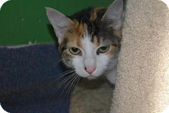 Domestic Shorthair Cat for adoption in Edwardsville, Illinois - Bonnie
