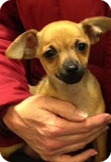 Chihuahua Puppy for adoption in Loveland, Colorado - PARIS