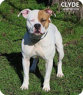 Bulldog/American Pit Bull Terrier Mix Dog for adoption in Elizabeth City, North Carolina - Clyde
