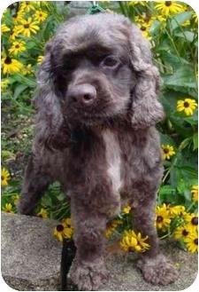 Cocker Spaniel Mix Dog for adoption in Sugarland, Texas - Clutch