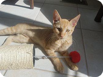 Domestic Shorthair Kitten for adoption in Glen Mills, Pennsylvania - Ginger