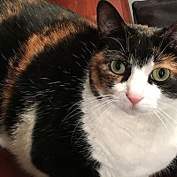 Domestic Shorthair Cat for adoption in Durham, North Carolina - Lilly