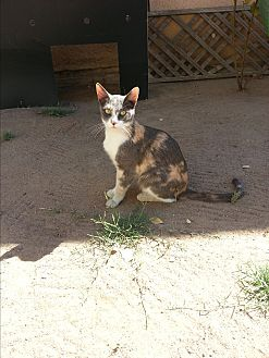 Calico Cat for adoption in Fresno, California - Dottie