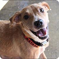 Adopt A Pet :: Apple - Pompton Lakes, NJ