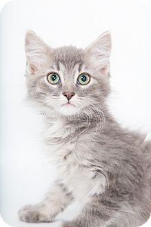 Maine Coon Kitten for adoption in Nashville, Tennessee - Hermes