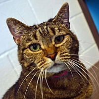 Adopt A Pet :: Shannon - Akron, OH