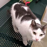 Adopt A Pet :: Scarlett - Springfield, IL