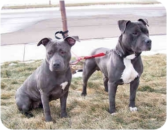 American Pit Bull Terrier Dog for adoption in All of Colorado, Colorado - Tia and Taurus