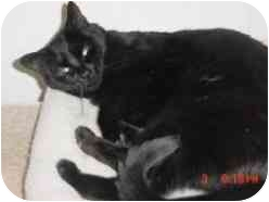 Domestic Shorthair Cat for adoption in Pasadena, California - Christine