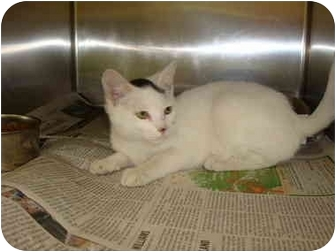 Domestic Shorthair Cat for adoption in Greenville, North Carolina - Camie