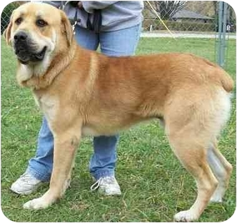 Great Pyrenees/German Shepherd Dog Mix Dog for adoption in North Judson, Indiana - Hunter