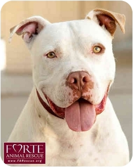 American Bulldog/Boxer Mix Dog for adoption in Marina del Rey, California - Dozer