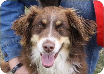 Australian Shepherd/Spaniel (Unknown Type) Mix Dog for adoption in Jerome, Idaho - 4522