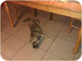 Hound (Unknown Type)/Shar Pei Mix Dog for adoption in Riverview, Florida - Cinnamon