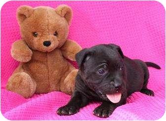 Labrador Retriever/Collie Mix Puppy for adoption in Salem, New Hampshire - Strawberry