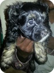 Lhasa Apso Mix Puppy for adoption in Las Vegas, Nevada - Phoebe's Moo