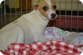 Jack Russell Terrier/Chihuahua Mix Dog for adoption in Edwardsville, Illinois - Rio