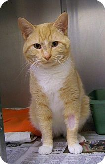 Domestic Shorthair Cat for adoption in Dover, Ohio - Rusty