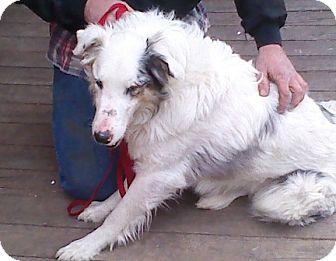 Australian Shepherd Dog for adoption in Minneapolis, Minnesota - Jax
