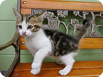 Domestic Shorthair Kitten for adoption in Lufkin, Texas - Clover