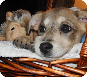 Husky Mix Puppy for adoption in Marlton, New Jersey - Fawnie