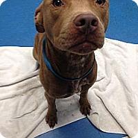 Adopt A Pet :: Chris Cringle - Pompano Beach, FL