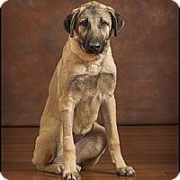Adopt A Pet :: Ivy - Owensboro, KY