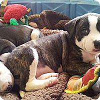 Adopt A Pet :: OLIVIA - Plano, TX