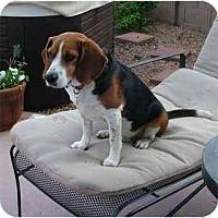 Adopt A Pet :: Chesty Puller - Phoenix, AZ